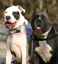 Durable Metal Pitbull Coupler for Walking Two Dogs