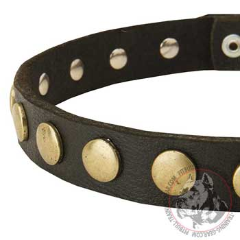 Brass circles on leather collar for Pitbull showing off