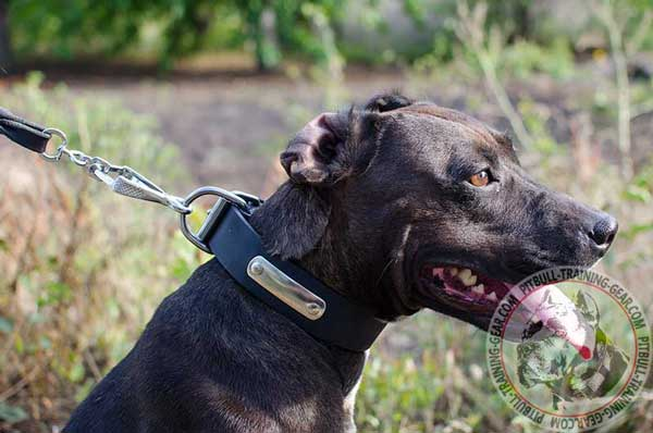 Training Leather Pit Bull Collar with Wide D-ring