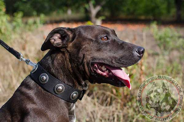 Durable Nylon Pit Bull Collar for Handling with Fancy Conchos