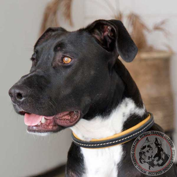 Padded Leather Dog Choke Collar for Pitbull Breed