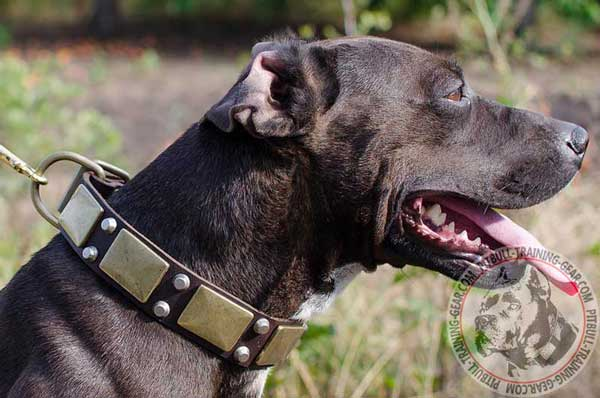 Perfectly Adjustable Leather Pitbull Collar with Goldish Brass Plates