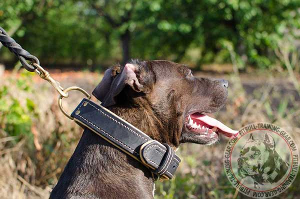 Walking Nappa Padded Leather Pitbull Collar Easy Adjustable