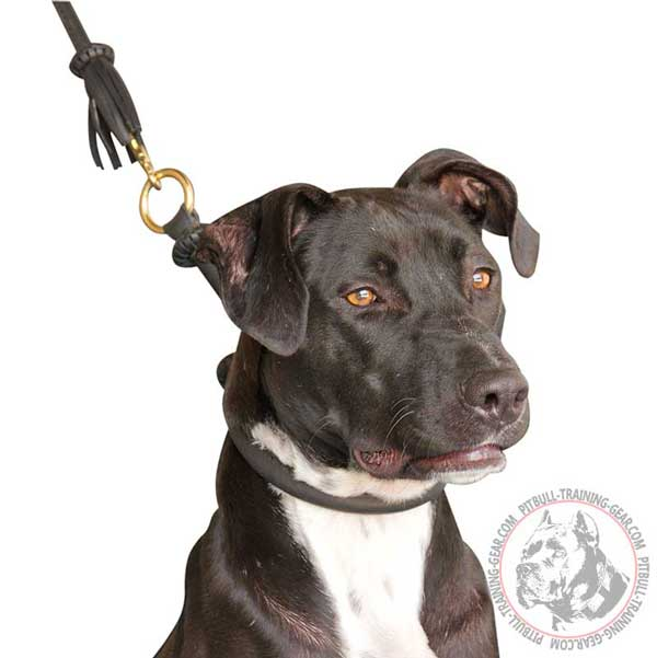 Leather Pitbull Choke Collar with Brass Ring for Quick Lead Attachment