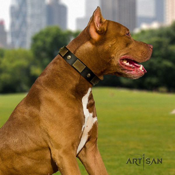 Pitbull comfy wearing full grain genuine leather collar for your attractive dog