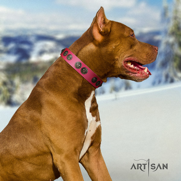 Pitbull comfortable wearing full grain natural leather collar for your stylish four-legged friend