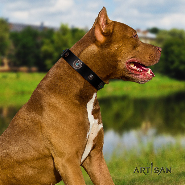 Pitbull comfy wearing genuine leather collar for your attractive canine
