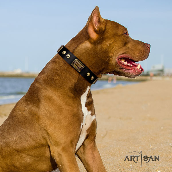 Pitbull easy wearing full grain natural leather dog collar with top notch embellishments