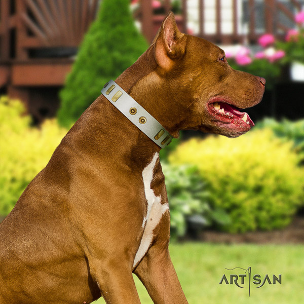Pitbull comfortable wearing genuine leather collar for your impressive four-legged friend