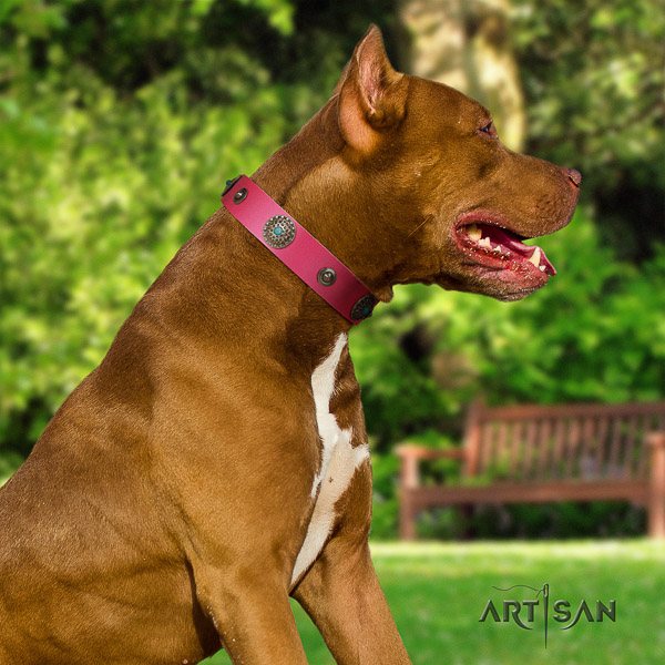 Pitbull comfy wearing natural leather collar for your lovely four-legged friend