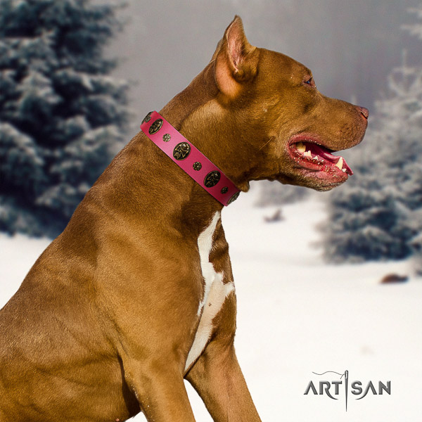 Pitbull comfortable wearing genuine leather collar for your handsome canine