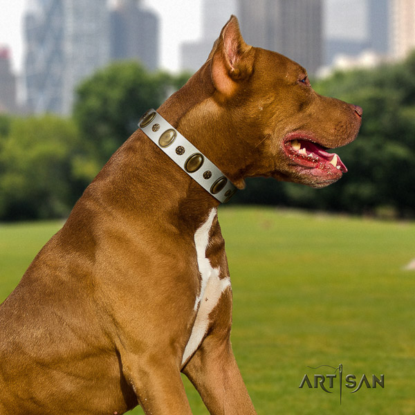 Pitbull comfortable wearing full grain genuine leather collar for your stylish four-legged friend