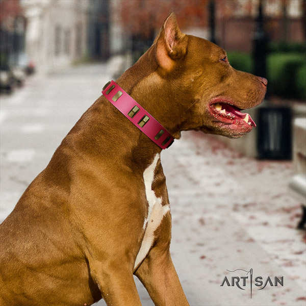 Pitbull comfy wearing full grain genuine leather collar for your impressive four-legged friend