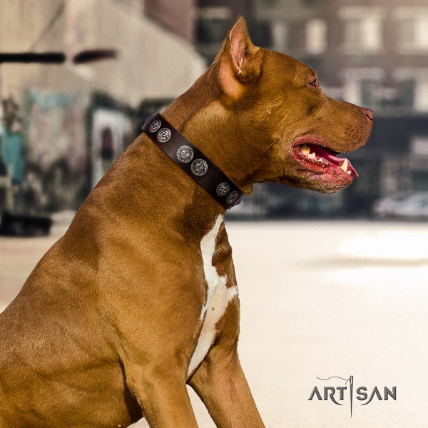 Pitbull comfortable wearing leather collar for your stylish canine