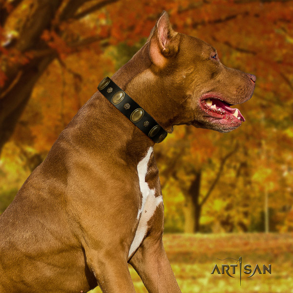Pitbull comfortable wearing natural leather collar for your lovely four-legged friend