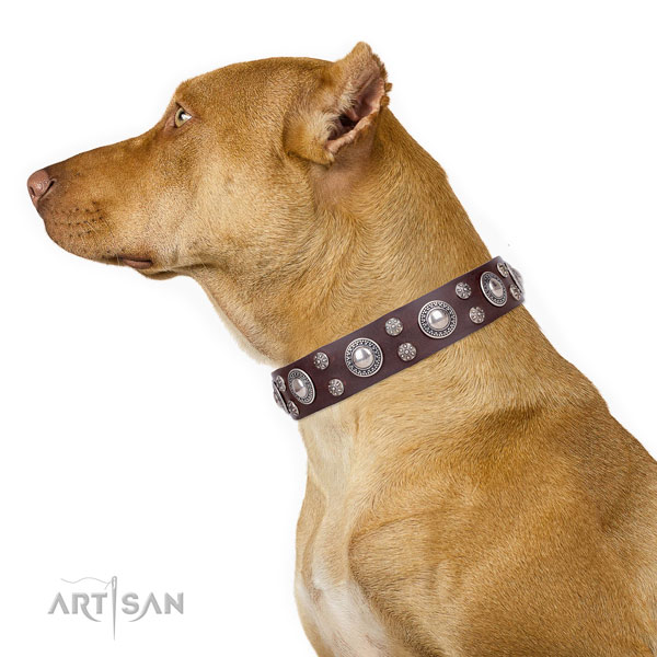 Pitbull full grain natural leather collar with rust resistant fittings for everyday walking