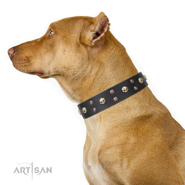 Pitbull full grain genuine leather collar with durable fittings for comfy wearing