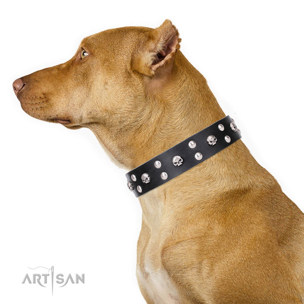 Pitbull natural genuine leather collar with rust resistant hardware for walking