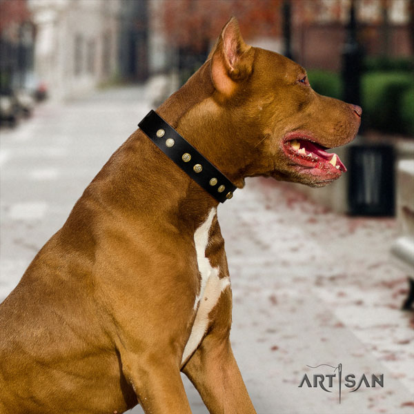Pitbull fine quality leather dog collar with significant studs