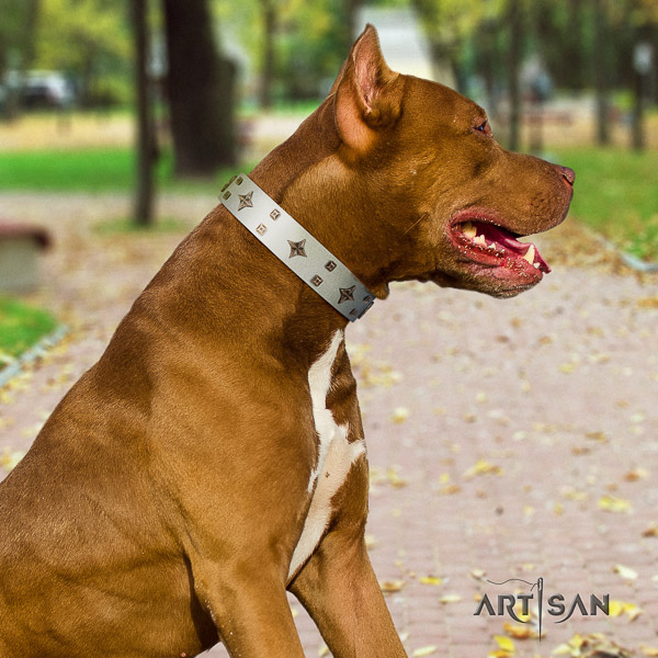 Pitbull comfy wearing natural leather collar for your handsome canine
