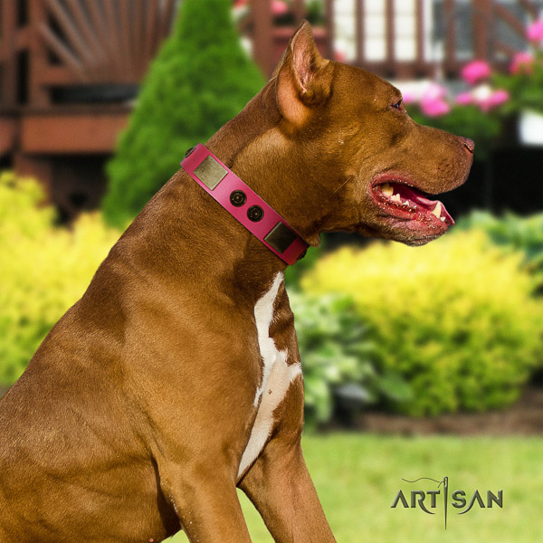 Pitbull comfy wearing leather collar for your beautiful doggie