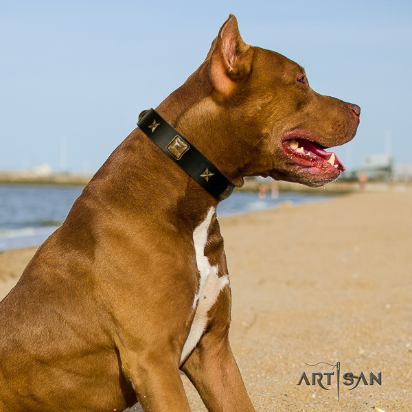 Pitbull comfy wearing full grain natural leather collar for your handsome pet