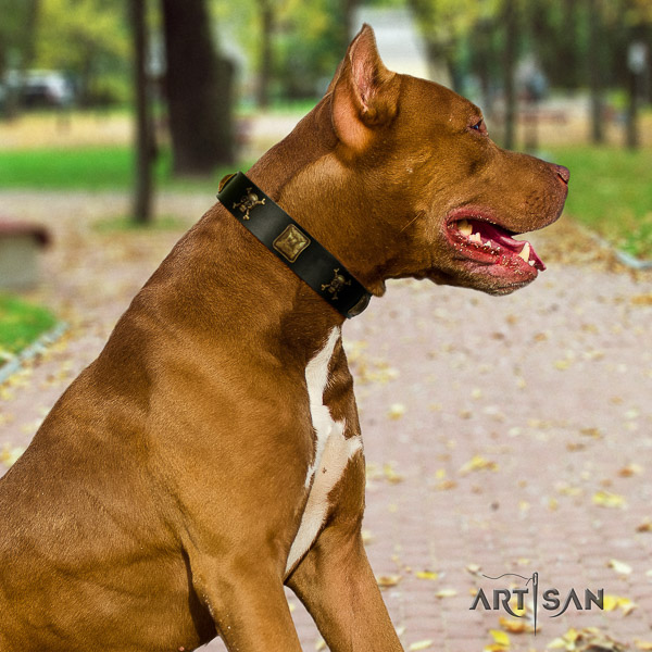 Pitbull comfortable wearing full grain genuine leather collar for your impressive canine