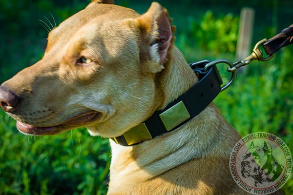 Pitbull brown leather collar of high quality with traditional buckle for basic training