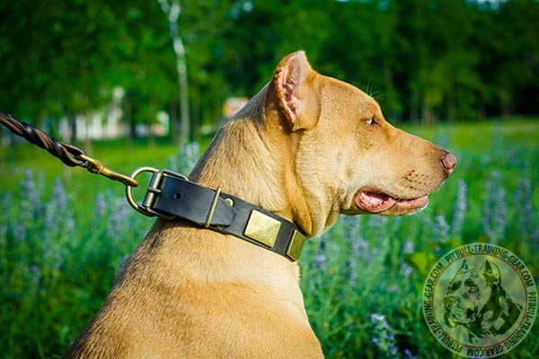 Pitbull brown leather collar of genuine materials with d-ring for leash attachment for perfect control