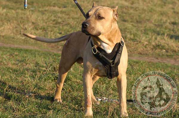 Adjustable Padded Leather Pit Bull Harness