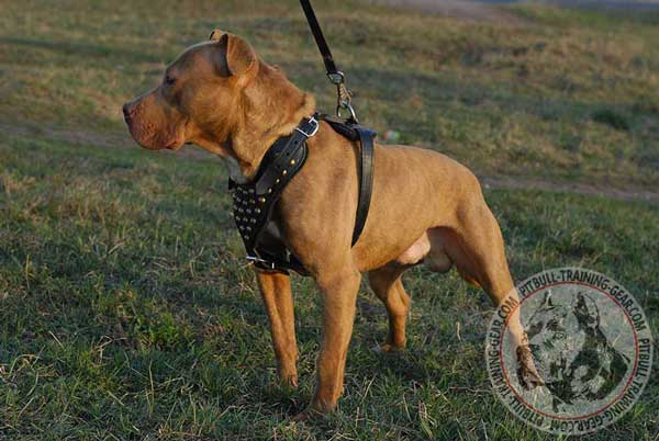 Studded Leather Pitbull Harness with Adjustable Straps