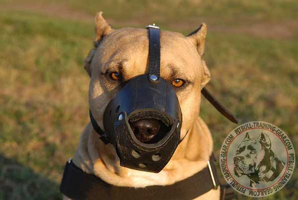 Leather Pitbull Muzzle with Felt Padding