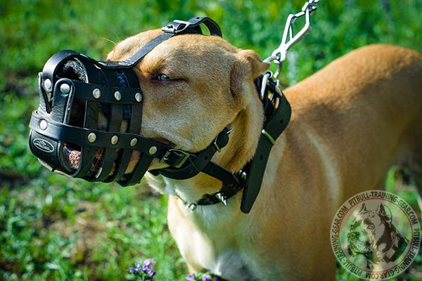 Pitbull leather basket muzzle well ventilated with riveted fittings   for professional use
